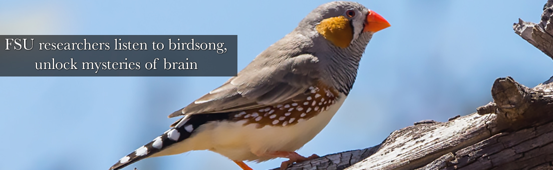 The way songbirds learn to sing is similar to how humans learn speech.